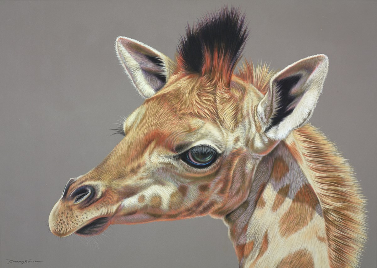 Baby Giraffe by darryn eggleton -  sized 28x20 inches. Available from Whitewall Galleries